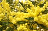 branches and flowers of fragrant yellow mimosa and the symbol of