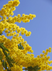 yellow mimosa in bloom and the blue spring sky