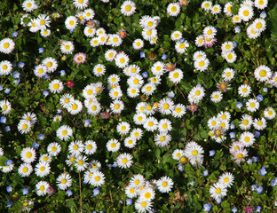 great meadow of daisies just beginning