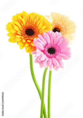 Composition with three gerberas isolated on white