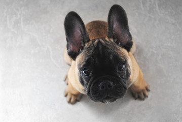puppy dog French Bouledogue