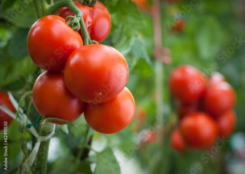 Leinwanddruck Bild tomato