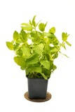 Mint in flowerpot on a white background
