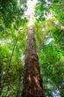 tree in borneo