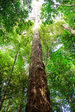 tree in borneo