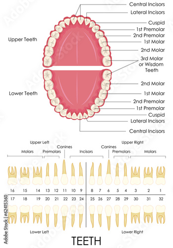 Human Dental Anatomy