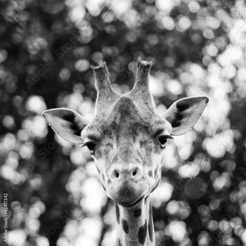 Foto op Plexiglas Giraffe Isolated giraff close up portrait