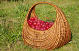 Wild plums in a basket