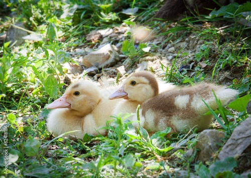 Ducklings on a meadow
