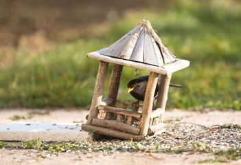 Oiseau merle à la mangeoire