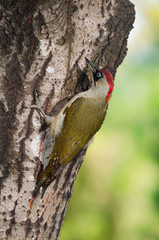 Green woodpecker (Picus viridis) female on a tree trunk