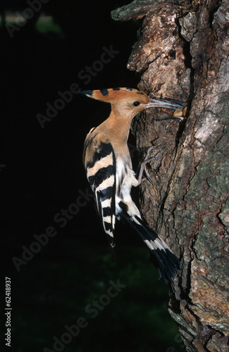 Hoopoe (Upupa epops) feeding chick at nest hole in a tree