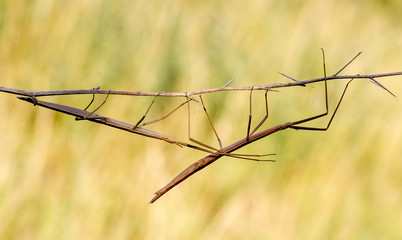 Walking stick, Diapheromera femorata, Phasmatodea