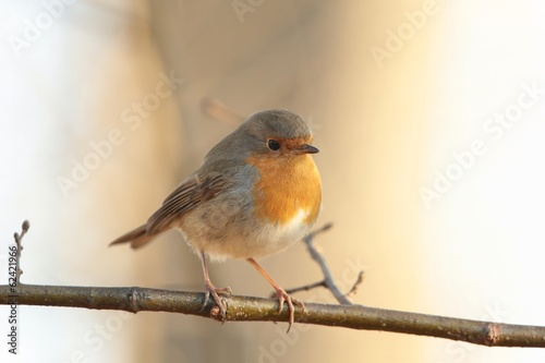 European Robin (Erithacus rubecula) on a twig at dawn