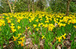 grass lawn with yellow daffodils in Wisley Garden,England
