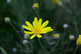 Wild flower in yellow