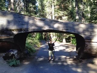Durchfahrt unter Sequoia Baum
