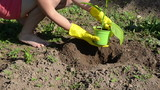 woman stain gloves dig hole in the soil plant eggplant seedling