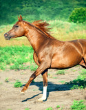 cantering chestnut arabian stallion at freedom