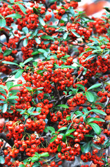 ash-berry, ashberry, autumn, beautiful, botanical, branch, brigh