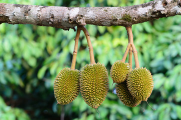 Young durian on its tree in the orchard