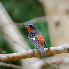 male White-throated Rock-Thrush