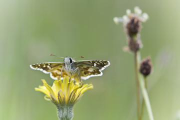 Spring butterfly with yellow wild flowers