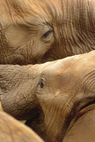 Elephants wrestle playfully