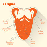 Conceptual flat style illustration. Anatomy of the human tongue