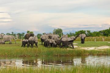 Elefantenherde mit Trompeter