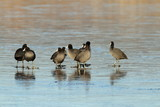 flock of adult coots
