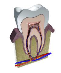 Dente, sezione, taglio, dentista, gengiva, odontoiatria