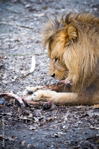 A lion eating a piece of meat.