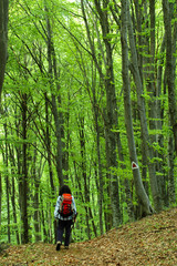 Woman trekking in a beech forest