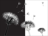 three dandelions on black and white background