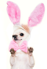 cchihuahua dog in a costume of Easter hare