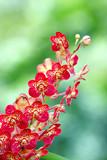 Fotoroleta Ascocentrum Orchid