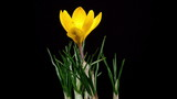 Timelapse of yellow crocus flower blooming on black background