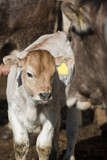 Cow Calf portrait