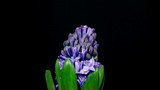 Timelapse of blue hyacinth flower blooming on black background