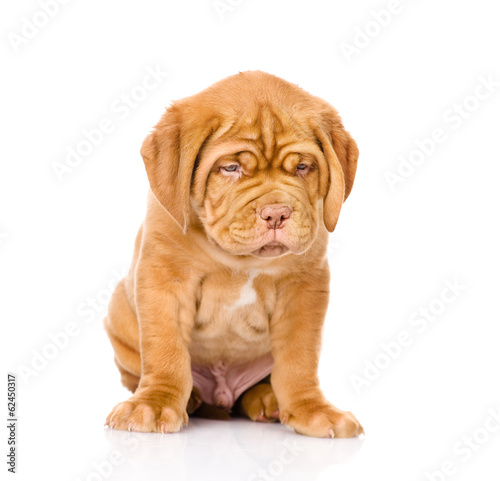 Sad Bordeaux puppy dog sitting in front. isolated on white