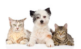 dog and two cats together. isolated on white background - 62454705