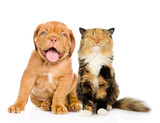 Bordeaux puppy dog and happy cat in front. isolated on white