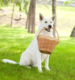 Purebred White Swiss Shepherd holding a basket in its mouth