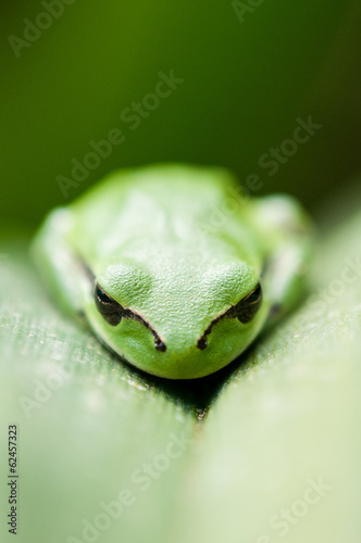 Green Tree Frog (Hyla Arborea) on a leaf, Barcelona, Spain