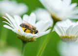 Honeybee on Daisy