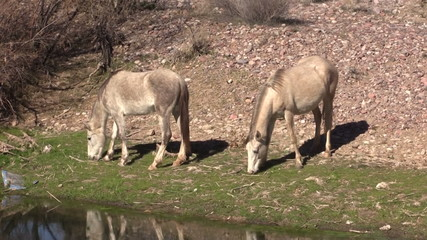 Salt River Wild Horses Grazing
