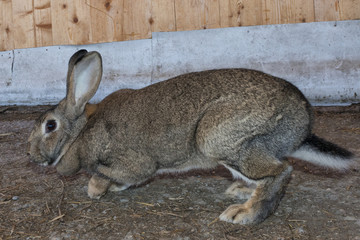 Rabbit close up portrait
