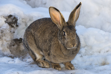 Rabbit close up portrait on snow background