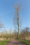 High bare tree in dutch wood landscape